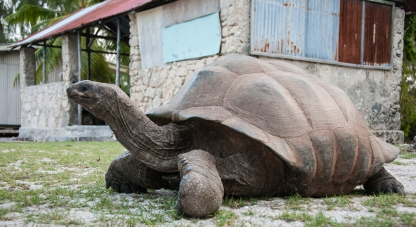 Aldabra Island, Seychelles -- Aldabra giant tortoise at research station