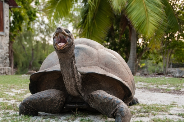 Aldabra Island, Seychelles -- Aldabra giant tortoise -- it's too early in the morning