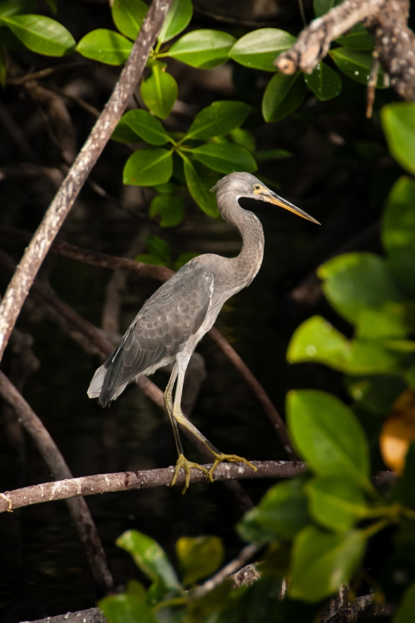 Aldabra Island, Seychelles -- Aldabra grey heron