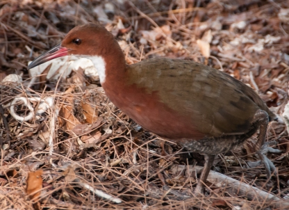 Aldabra Island, Seychelles -- Aldabra white-throated rail (a flightless bird)