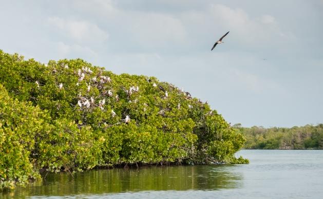 Aldabra Island, Seychelles -- birds in mangrove trees
