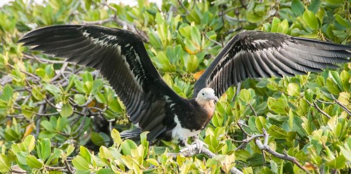 Aldabra Island, Seychelles -- female frigate bird