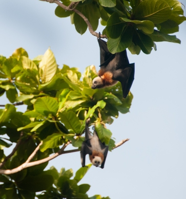 Aldabra Island, Seychelles --   Fruit bats