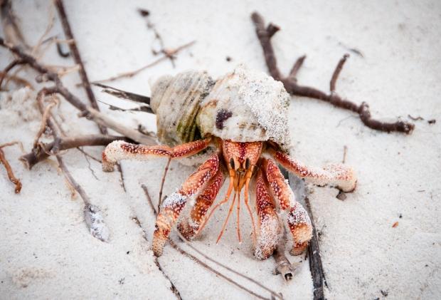 Aldabra Island, Seychelles -- Hermit crab