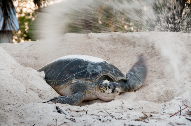 Aldabra Island, Seychelles -- Green sea turtle burying eggs