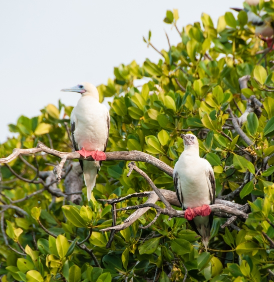 Aldabra Island, Seychelles -- two red-footed boobies