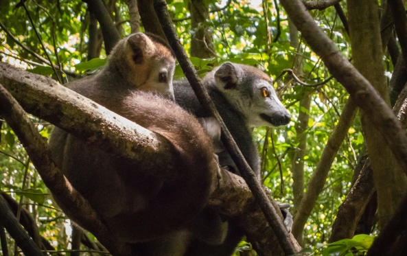 Madagascar crowned lemurs