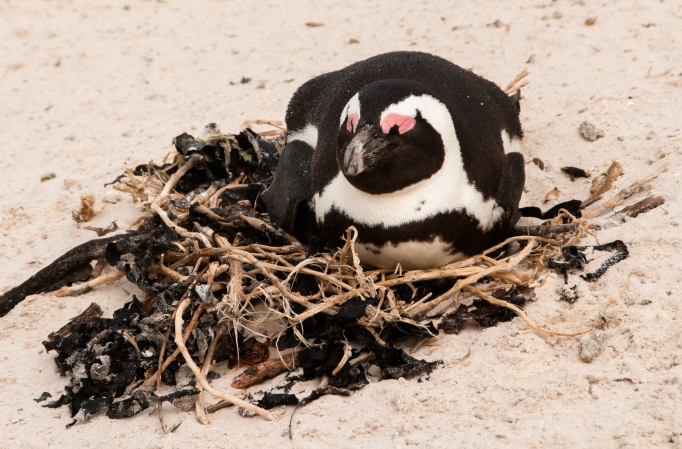 A mother penguin sitting on her nest on the beach
