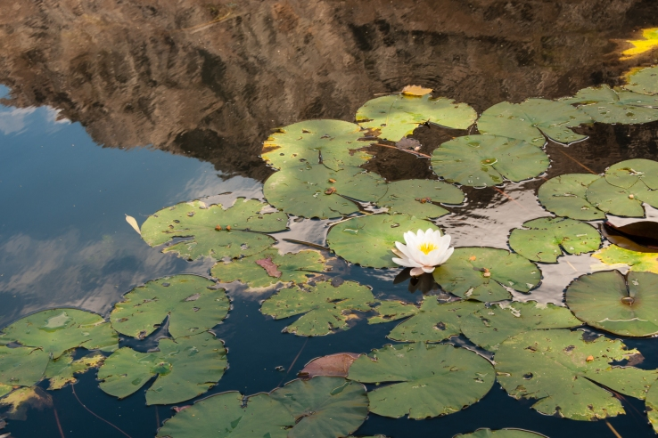 Lily and lily pads in pond at Stark-Conde Wines, Stellenbosch, South Africa