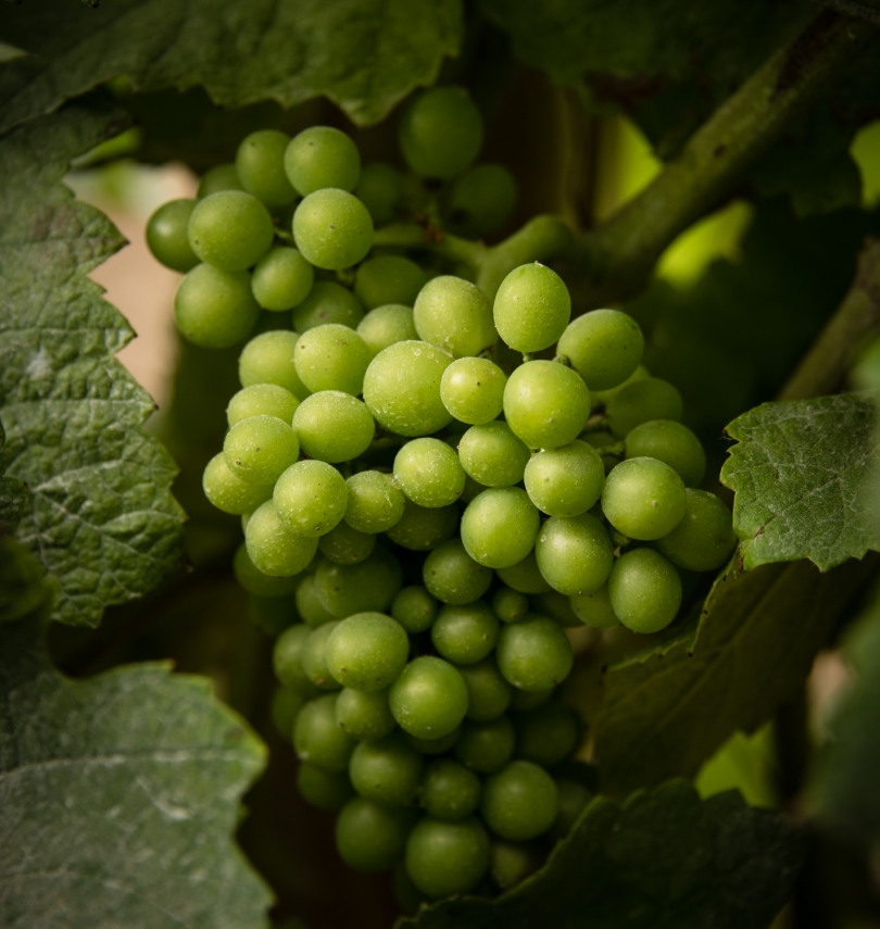 Touriga Nacional Tinto grape cluster (unripe!) at Casal Sta. Maria, near Cabo da Roca, Portugal