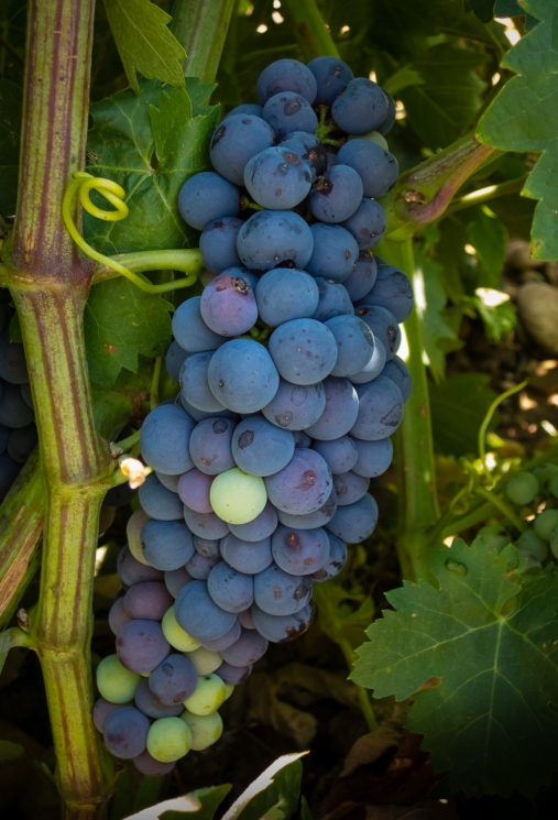 Grapes on the vine at Bodegas del Marques de Vargas, Ebro Valley, Riojas region, Spain
