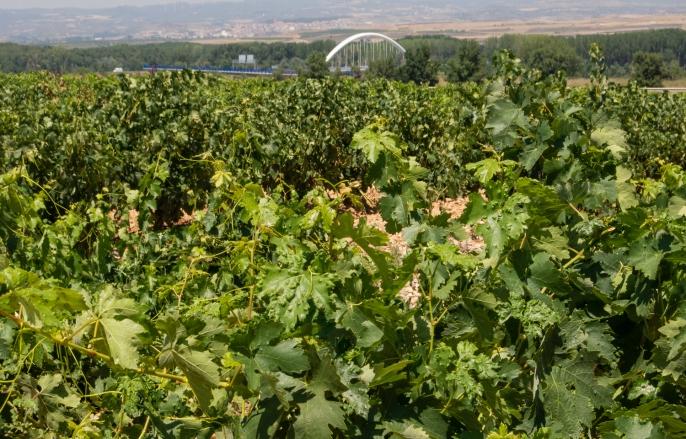 Vineyards at Bodegas del Marques de Vargas, Ebro Valley, Riojas region, Spain
