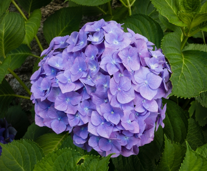 One of many stunning hues of hydrangeas at The Chapel of Tremalo, Pont-Aven, Brittany, France