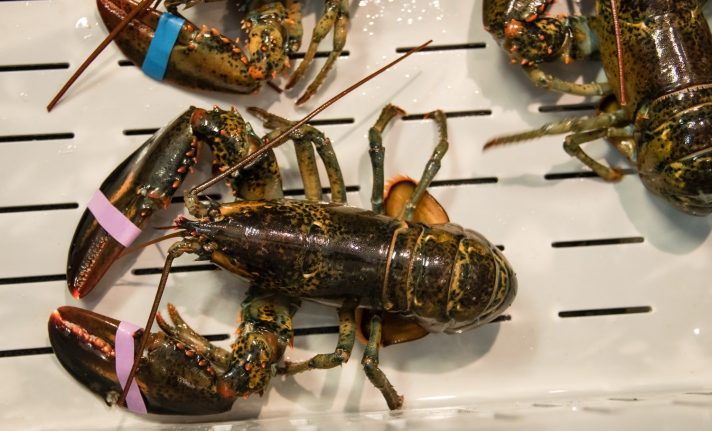 """""""Chicken"""" lobsters (about one pound (0.6 Kg)), Harbor Fish Market, Portland, Maine, USA"""
