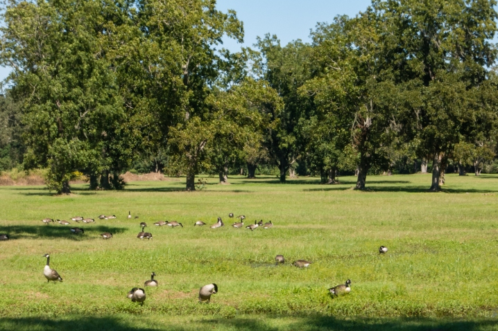 Migrating geese in front of remaining pecan trees at Boone Hall Plantation, Charleston, South Carolina, USA