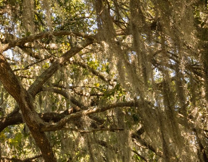 Spanish moss on trees at Boone Hall Plantation, Charleston, South Carolina, USA