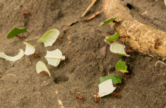 Ants moving leaves at Parque Nacional Natural Utria (Utria National Park), Colombia