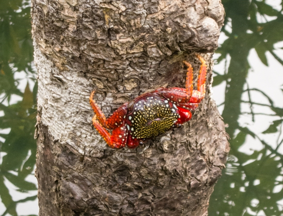 Black (and red) crab climbing a tree at Parque Nacional Natural Utria (Utria National Park), Colombia