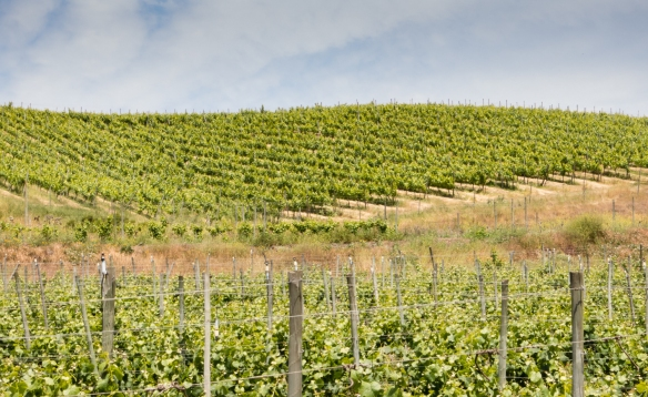 The vineyards of Vina Casa Marin are the closest to the Pacific Ocean in Chile, Las Condes, San Antonio Valley, Chile-