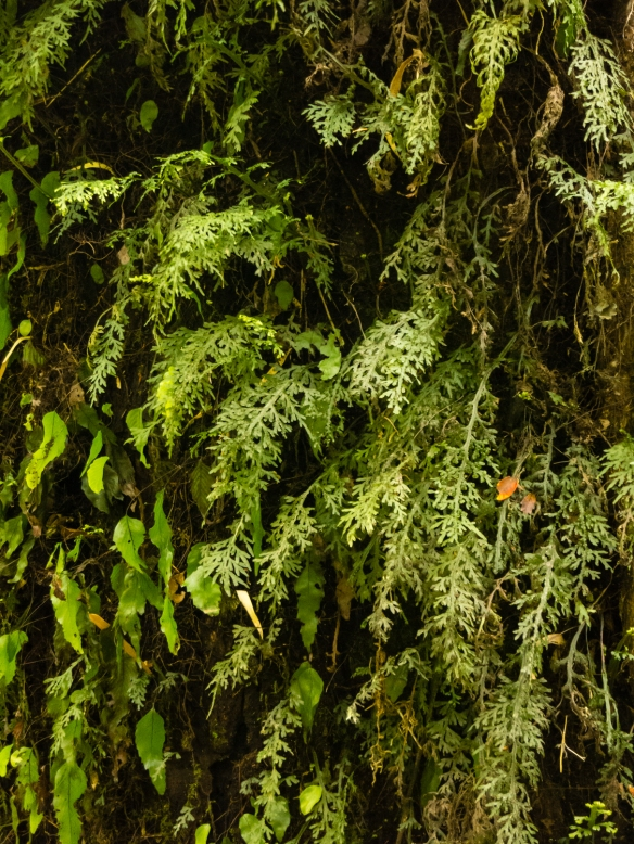 Ferns and a leaf vine growing parasitically on a tree trunk in Parque Aiken del Sur, Puerto Chacabuco, Patagonia, Chile