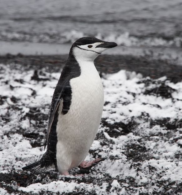 Portrait of a Chinstrap Penguin in the blizzard, Deception Island, South Shetlands Archipelago, northwest of the northern tip of the Antarctic Peninsula