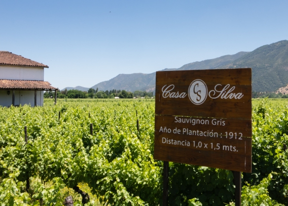 Sauvignon Gris vineyard planted in 1912; Viña Casa Silva is recognized as the oldest winery in the Colchagua Valley, Chile