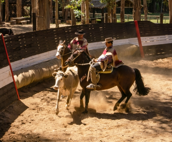 Two of the local Huaso cowboys demonstrating their skills in herding a bull in the rodeo at Viña Casa Silva, San Fernando, Colchagua Valley, Chile