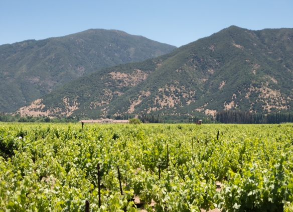 Viña Casa Silva's vineyards were planted from pre-phylloxera cuttings from Bordeaux; Colchagua Valley, Chile