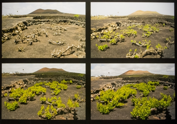 A photograph from the winery shows the vines' growth from pruning back after harvest to full growth just prior to the next harvest; Bodegas El Grifo, Lanzarote, Canary Islands