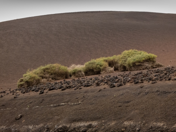 A rare instance of vegetation in the volcanic landscape of Parque Nacional de Timanfaya (Timanfaya National Park), Lanzarote, Canary Islands