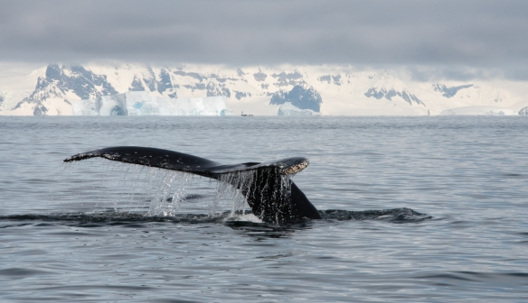 Humpback whale profile in Dallmann Fjords off Northern Anvers Island, Antarctica
