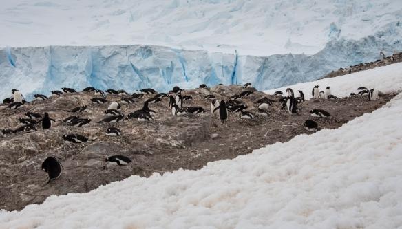 Neko Harbor Gentoo Penguin rookery, Antarctica