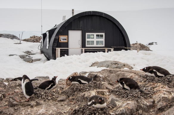 Nesting Gentoo Penguins in front of the contemporary Quonset hut living quarters, Port Lockroy, Antarctica