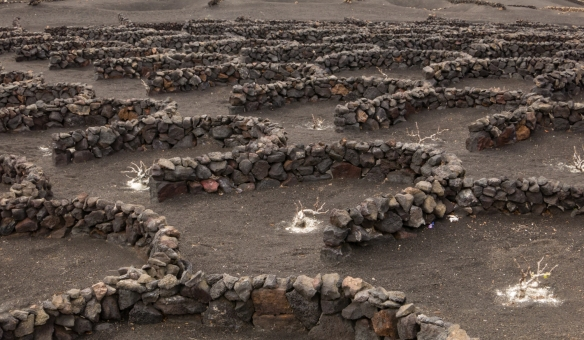 The low, dry walls constructed from volcanic rock, provide protection for individual grape vines from the prevailing northern winds, Lanzarote, Canary Islands