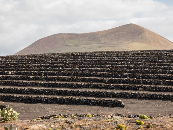 The pre-Phylloxera varietal grape vines are planted on their original rootstock -- there has been no Phylloxera on the island; Bodegas El Grifo, Lanzarote, Canary Islands
