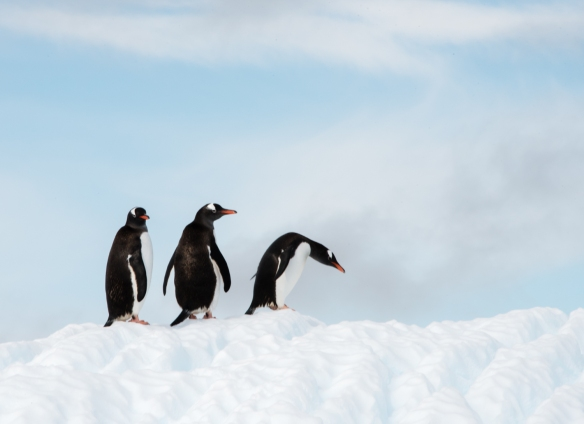 Three Gentoo Penguins on iceberg in Dallmann Fjords off Northern Anvers Island, Antarctica