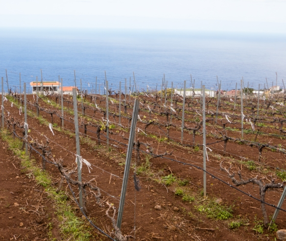 Vineyards overlooking the Atlantic Ocean, on the hills of El Sauzal, Tenerife, Canary Islands