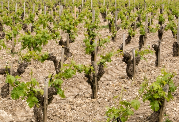 A small section of the vineyards at Château Lynch-Bages, Pauillac, Gironde, France