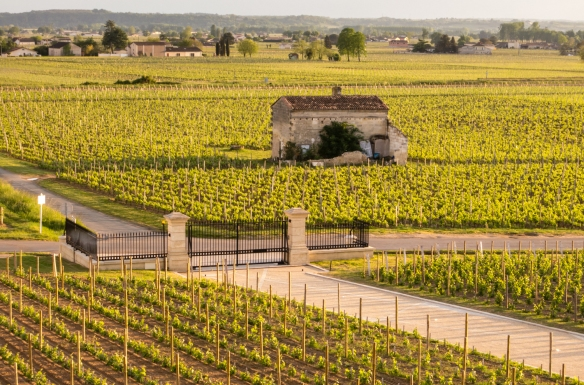 Prior to sunset, the vineyards turn nearly golden, Château Pavie, Saint-Émilion, Bordeaux region, France