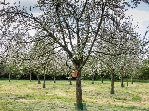 The apple orchard in the Estate is a traditional high-stem orchard, planted and grafted between 1991 and 1993, Calvados Christian Drouin, Coudray-Rabut, Normandy region, France