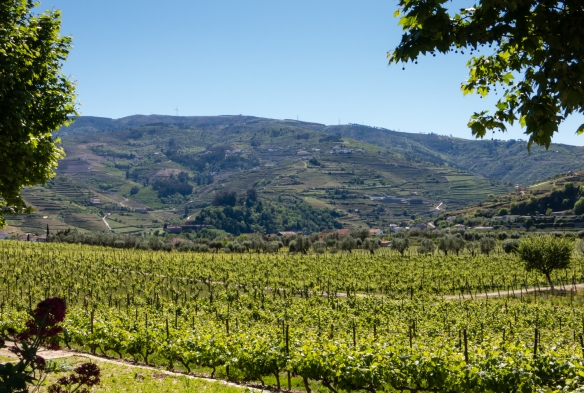 The vineyards of Quinta da Pacheca, Lamego, Douro Valley, Portugal