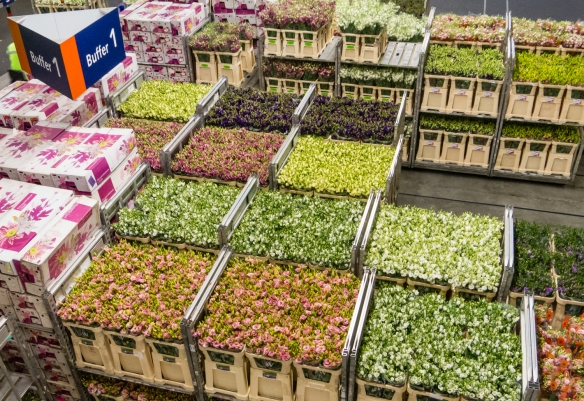 All of the flowers are delivered daily for the auction that starts early in the morning in the two auction halls [see photograph, below], Royal FloraHolland Aalsmeer, Amsterdam, Netherlands
