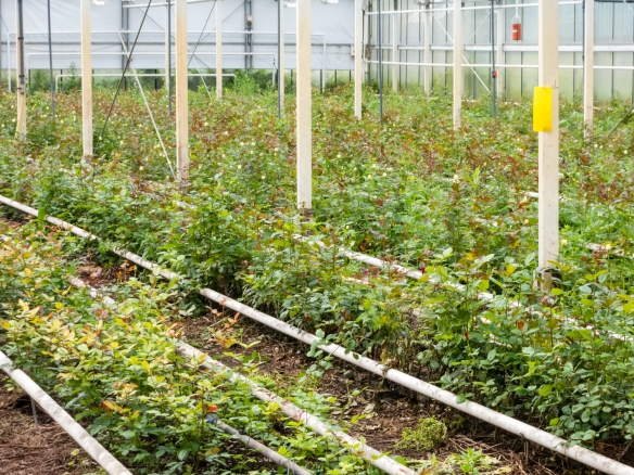 Hundreds upon hundreds of rose bushes in the organic greenhouses of Rozen & Radijs, Aalsmeer, Amsterdam, Netherlands