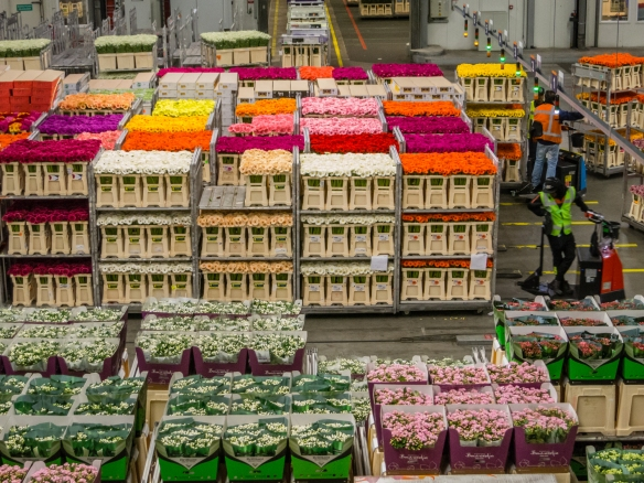 "Pallets of flowers are moved both by automated tracks in the floor and by hundreds of ""scooter"" drivers, Royal FloraHolland Aalsmeer, Amsterdam, Netherlands"