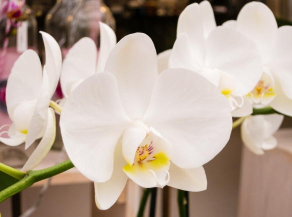 We also bought a beautiful white orchid for our apartment at Rozen & Radijs, Aalsmeer, Amsterdam, Netherlands