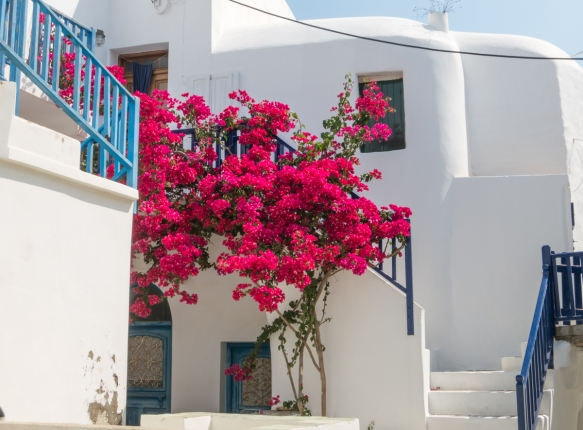 a-unusually-bright-red-bougainvillea-tree-in-the-medieval-venetian-kastro-castle-neighborhood-chora-folegandros-island-cyclades-greece