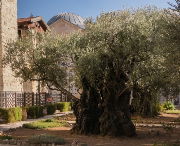 an-olive-tree-that-is-over-2000-years-old-in-the-garden-of-gethsemane-adjacent-to-the-church-of-gethsemane-also-known-as-the-church-of-all-nations-or-the-church-of-the-agony