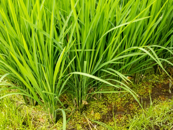 close-up-of-the-rice-plants-before-the-rice-is-ready-for-harvesting-bali-indonesia
