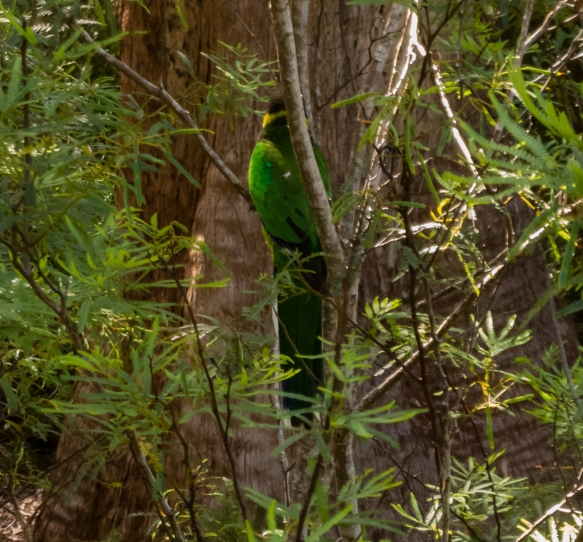 looking-closely-we-spotted-many-birds-camouflaged-in-the-forest-tree-top-walk-the-valley-of-the-giants-denmark-western-australia