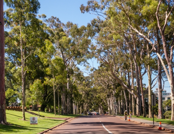 memorial-eucalyptus-trees-line-fraser-avenue-in-kings-park-perth-australia